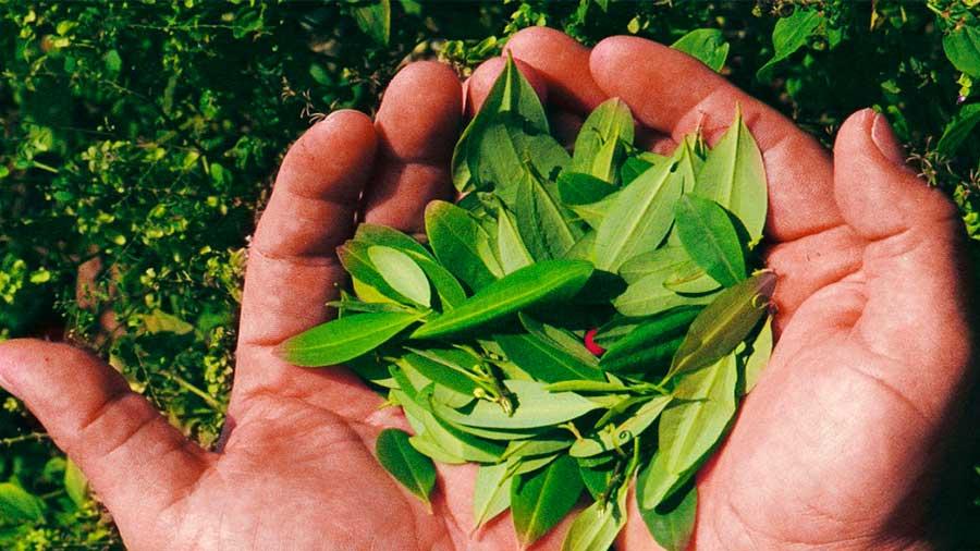 planta sagrada de los incas